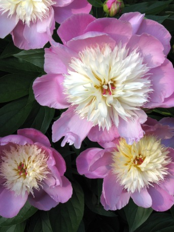 Everyone loves peonies.