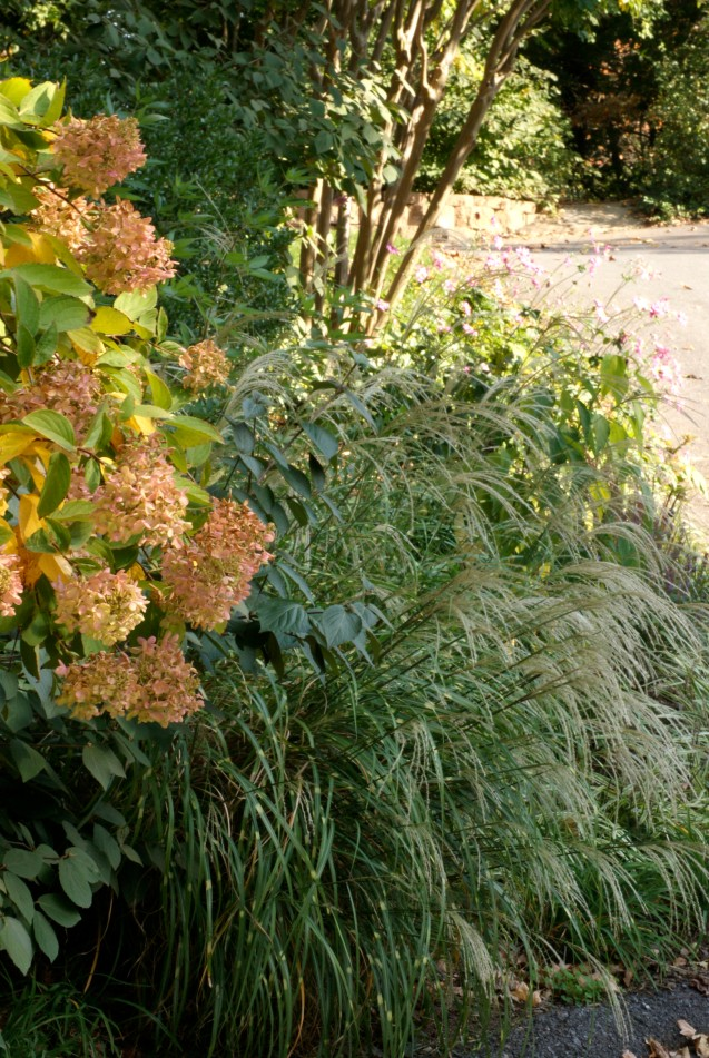 Fall blooming hydrangea with grasses.