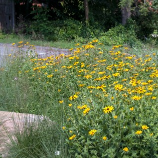 These Black Eyed Susans helped transform a traffic circle in the Temple Shalom.