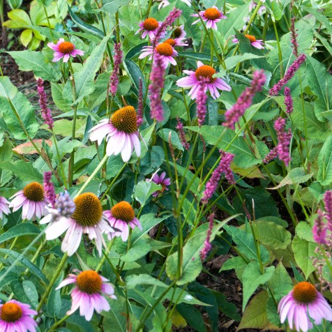 These coneflowers and fire tails are at their best in the summer.