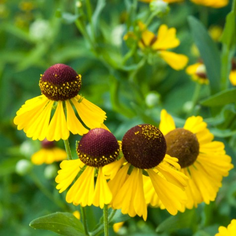 These bright yellow flowers light up any fall garden.